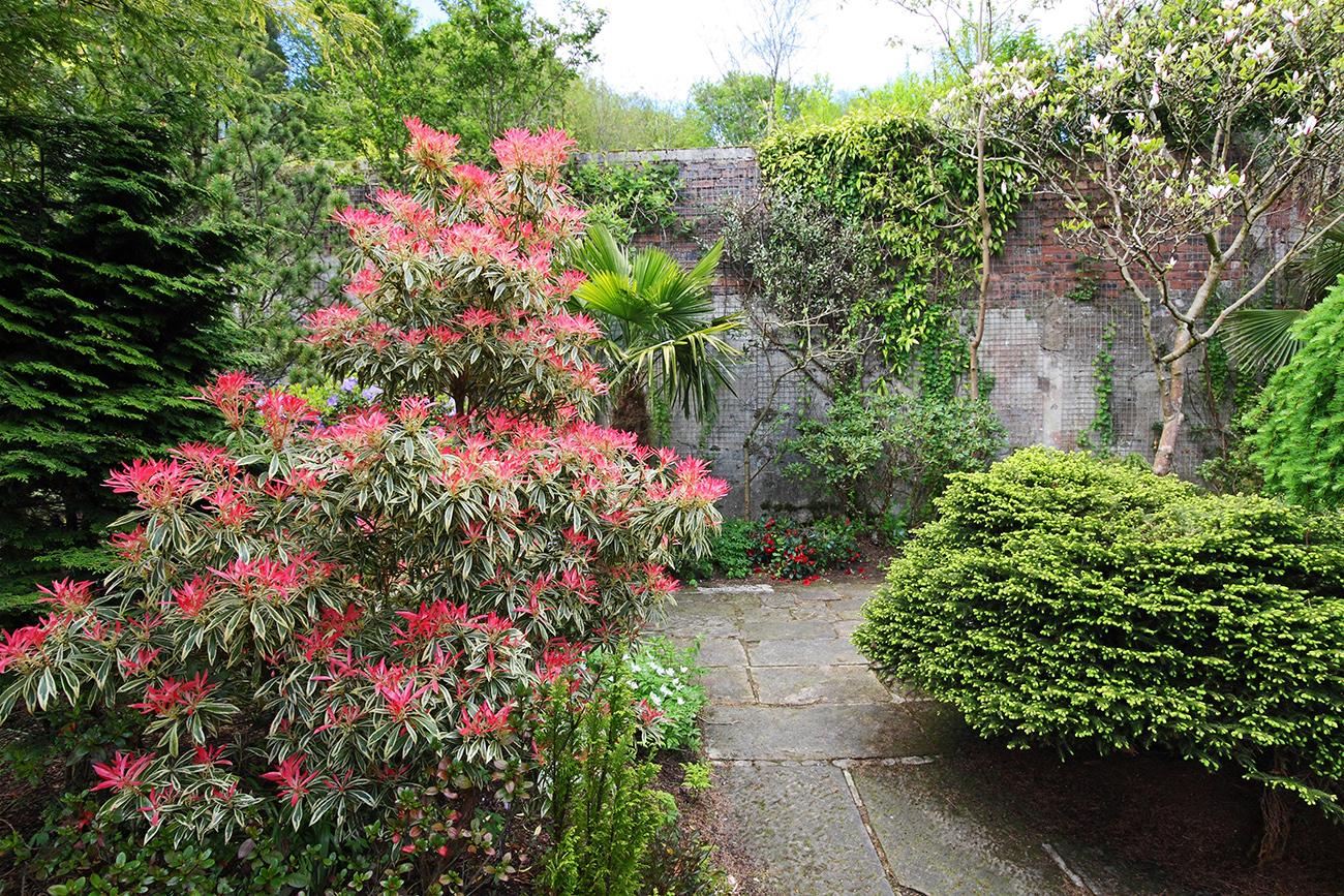 Andromeda colorful shrub for any backyard