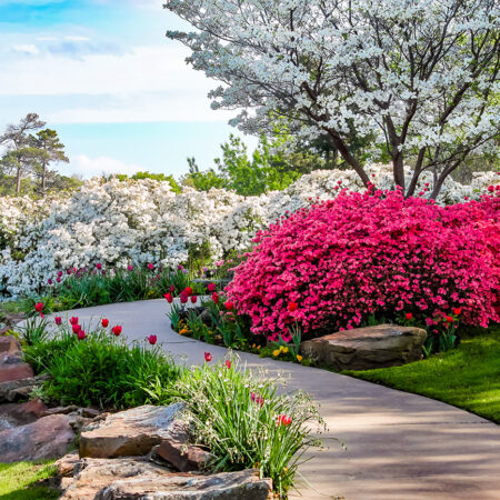 Curved path through banks of Azeleas and under dogwood trees, beautiful shrubs for any backyard