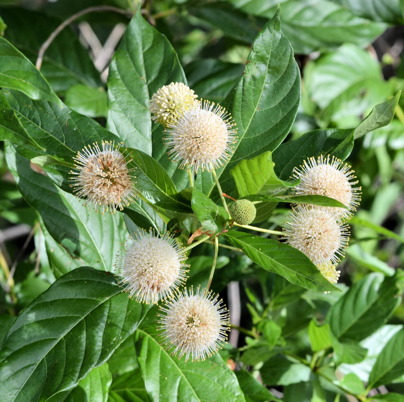 Blooms and leaves of the Buttonbush Shrub, perfect for any backyard