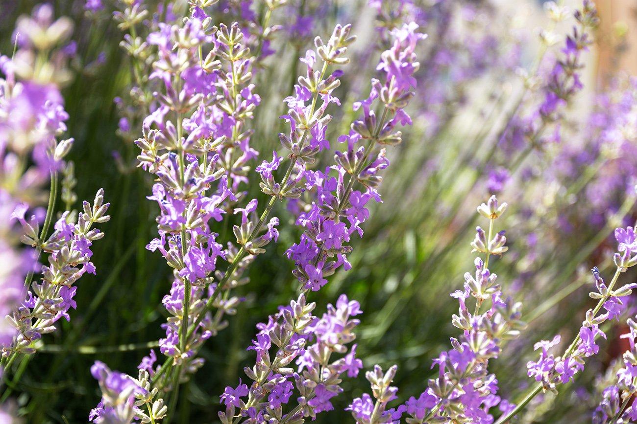 Beautiful purple english lavender, a beautiful shrub for a colorful backyard