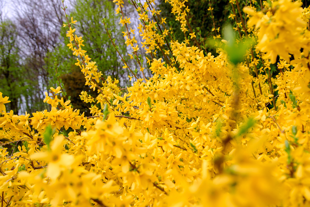 yellow forsythia bush during blossoming and green grassland is a beautiful shrub for your backyard