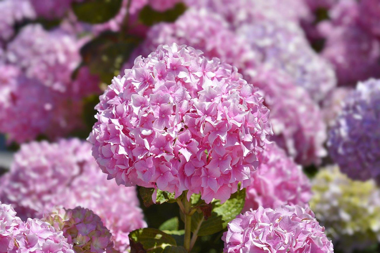 French hydrangea, a beautiful shrub for a colorful backyard
