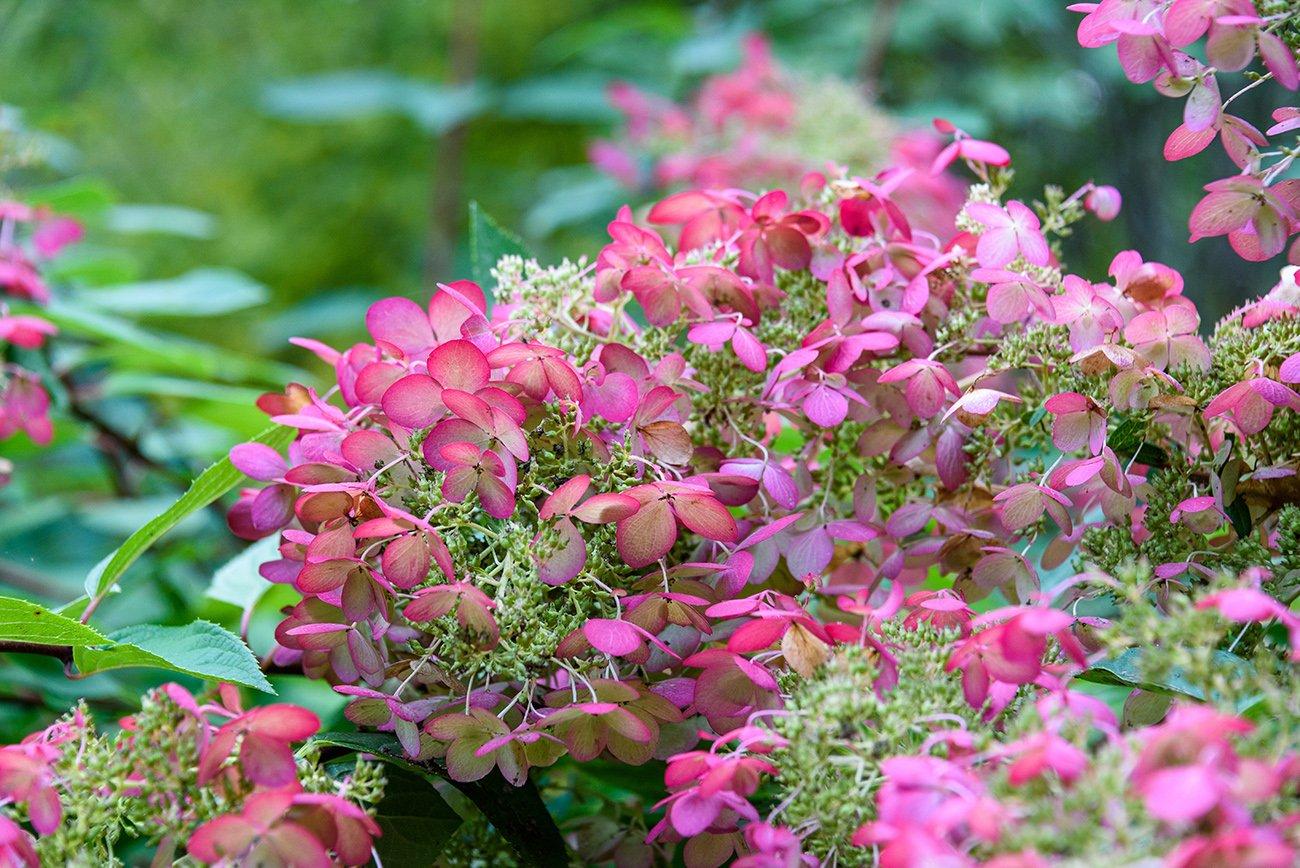 Oakleaf Hydrangea is a beautiful shrub for any backyard