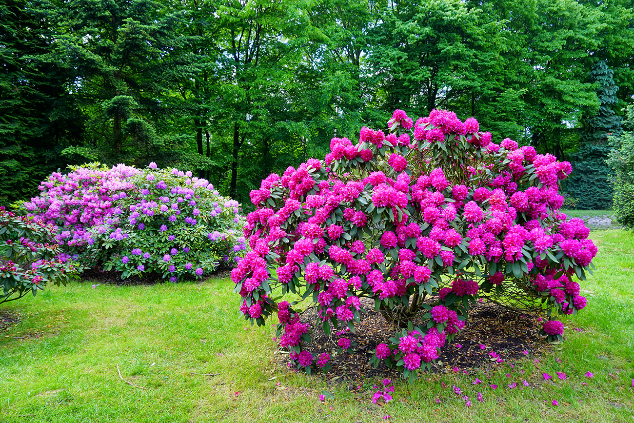 Rhododendron, a beautiful shrub for a colorful backyard
