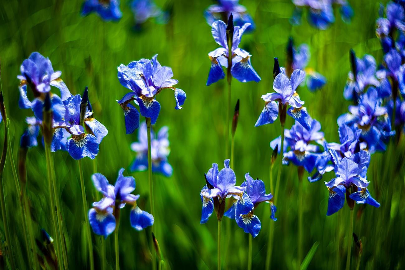 beautiful and colorful Siberian iris for any backyard